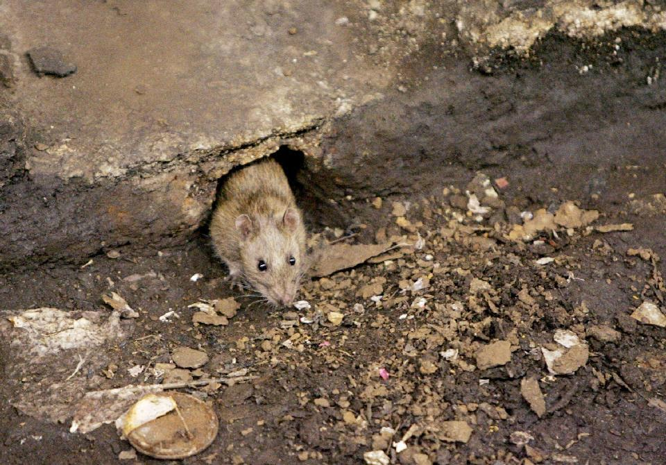 Rats! Official says NYC is failing at rat control