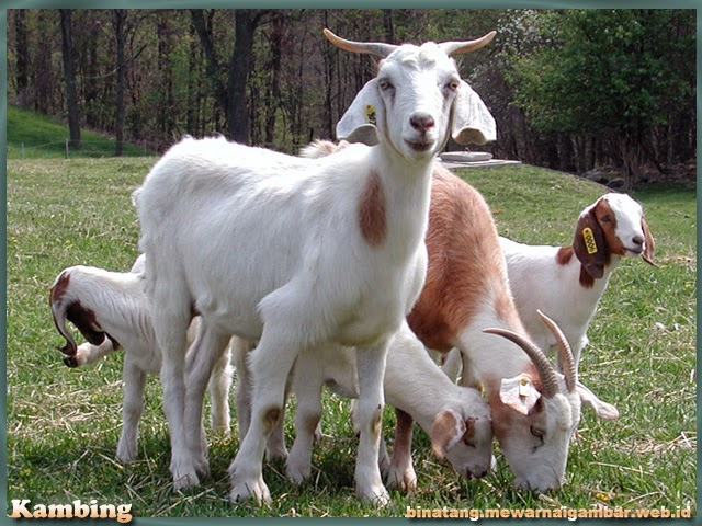 gambar binatang kambing