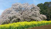 4月15日午後、吉高の山桜を見てきました。駐車場と現地の間は多くの見物客で .