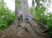 The World's largest Spruce