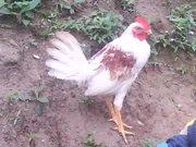 Pollo canaguey