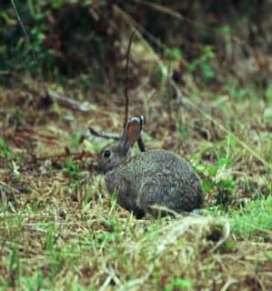 Conejo de monte-2