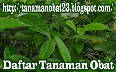 Tanaman Obat Mondokaki (Ervatamia divaricata (L.) Burk.)