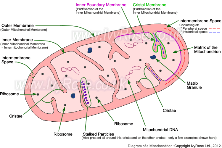 Ib biology photosynthesis and cellular respiration the following picture show organelle structure of mitochondria mitochondria is a membrane enclosed organelle found in most eukaryotic cells that converts ccuart Choice Image