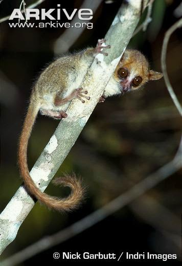 Madagascar endangered lemurs