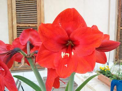 אמירליוס אדום
