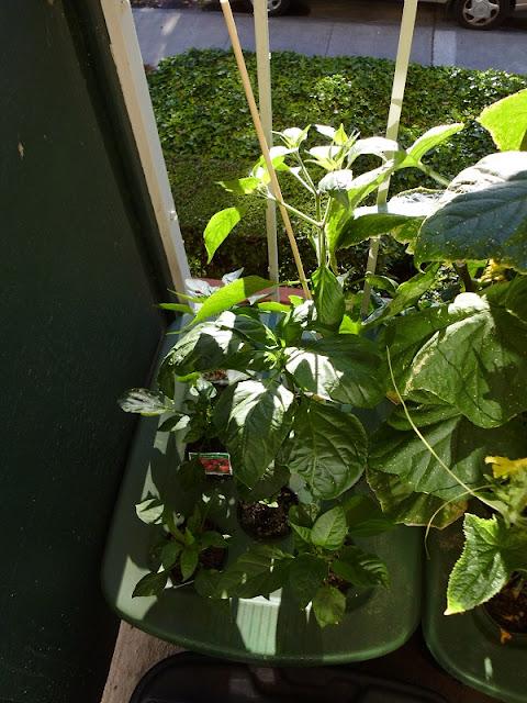 Kratky Peppers