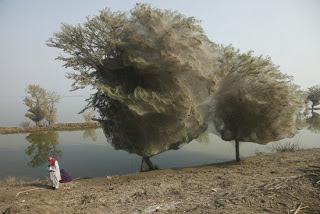 Pohon Jaring Laba-Laba - Pakistan