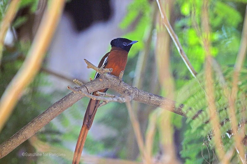 Red-bellied Paradise Flycatcher, Terpsiphone rufiventer in Gambia