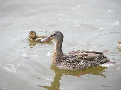 Saugatuck Ducks Photograph