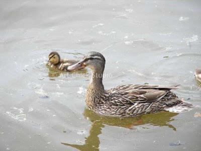 Saugatuck Ducks Photograph
