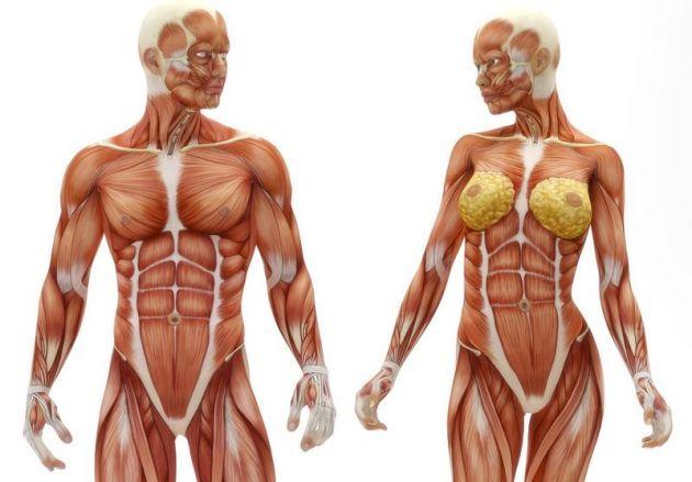 Aprender músculos