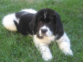 Newfoundland Puppy Picture