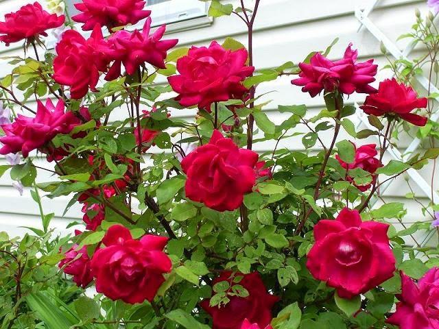 Cara merawat tumbuhan bunga mawar agar tumbuh subur dan terus berbunga