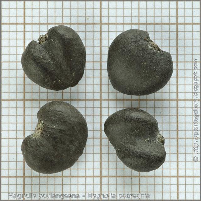 Magnolia soulangeana seeds - Magnolia pośrednia nasiona