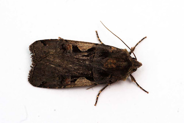 Setaceous Hebrew Character - Photographed in Milton Keynes