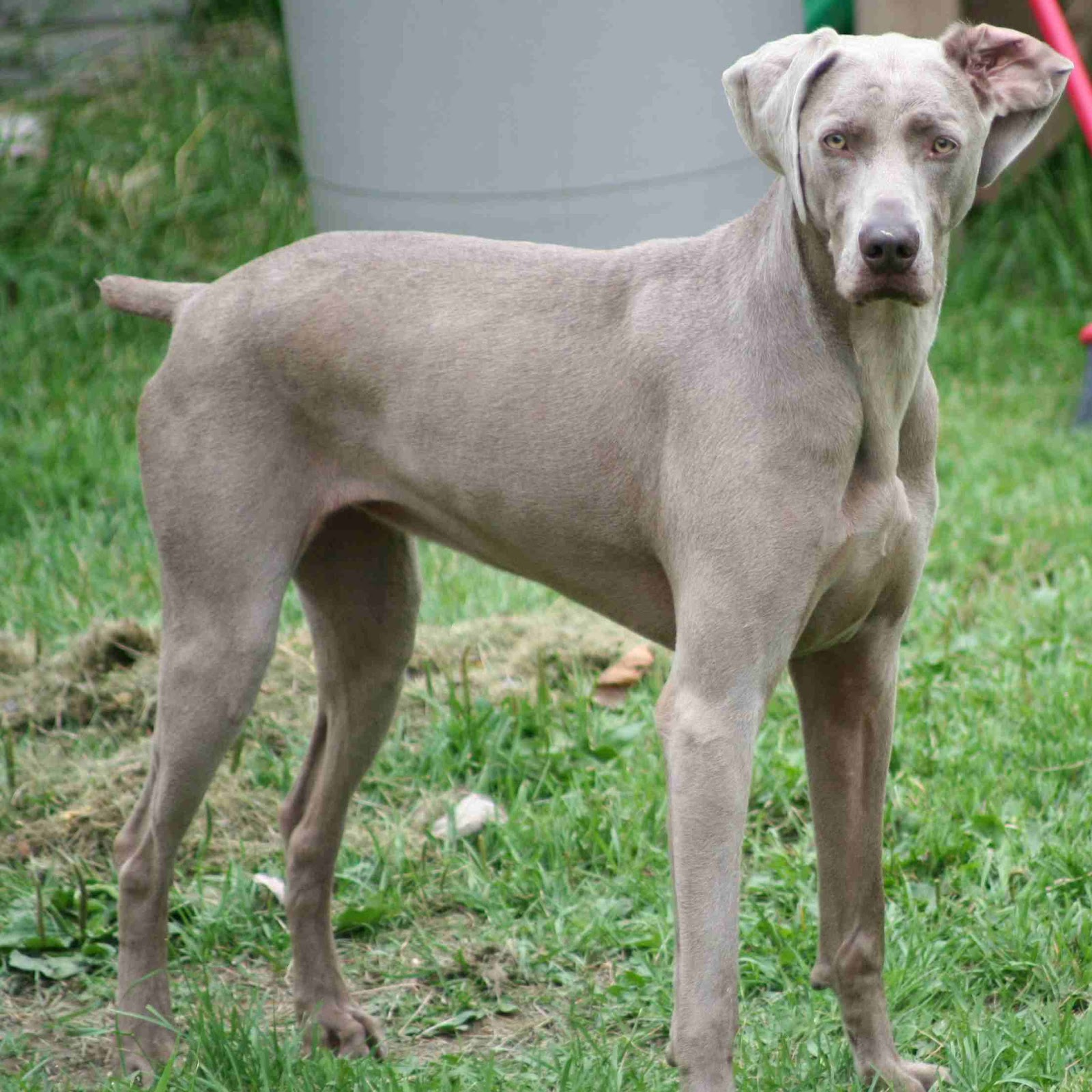 What Dog Is Like A Weimaraner But Smaller