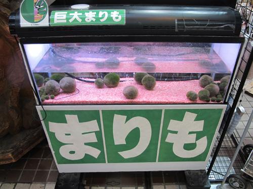 Marimo Hokkaido