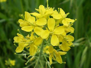 アブラナ科の花-種が危ない