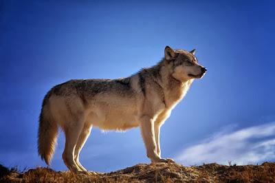 hewan selanjutnya yang termasuk hewan karnivora yaitu srigala mangsa
