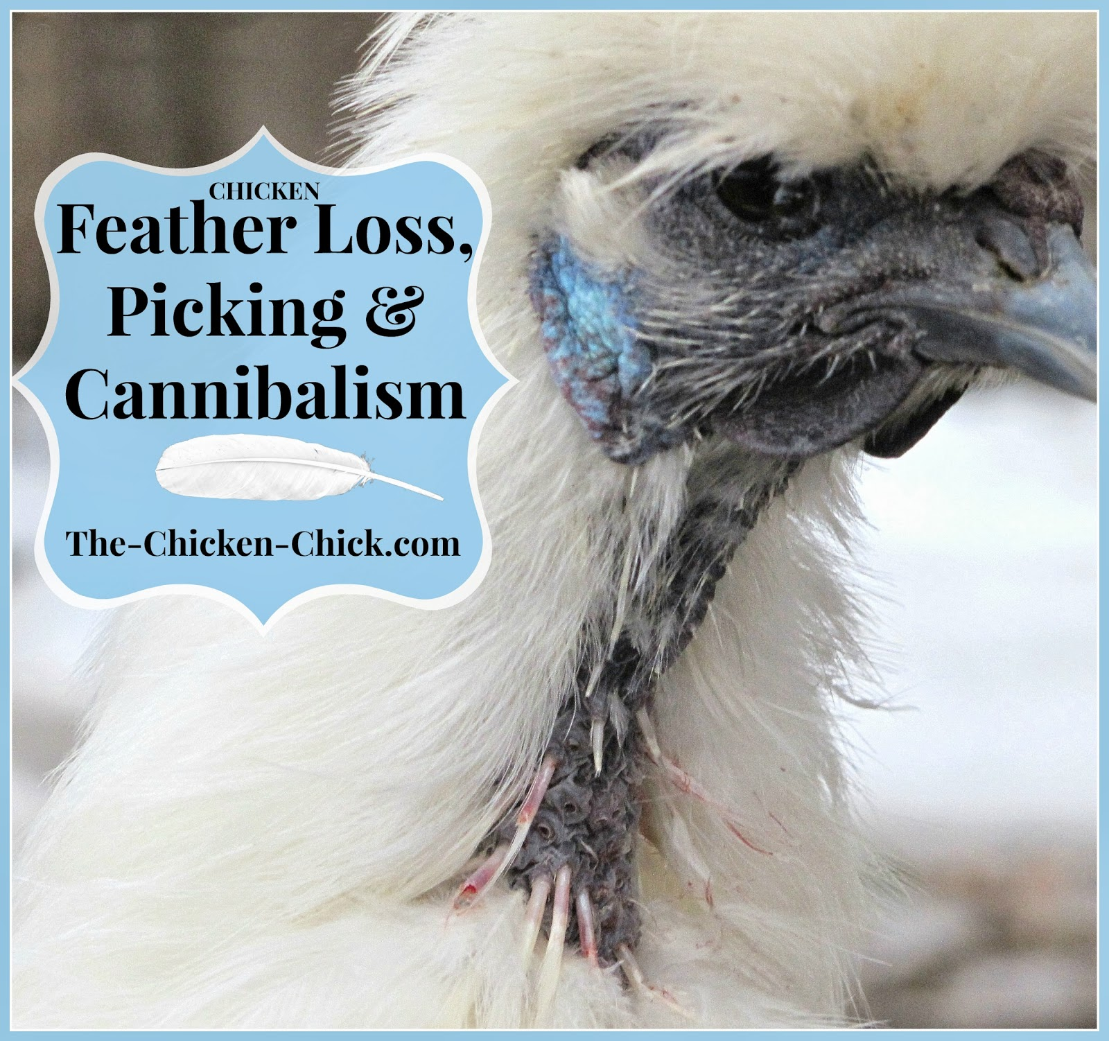 the chicken chicken feather loss u0026 cannibalism causes