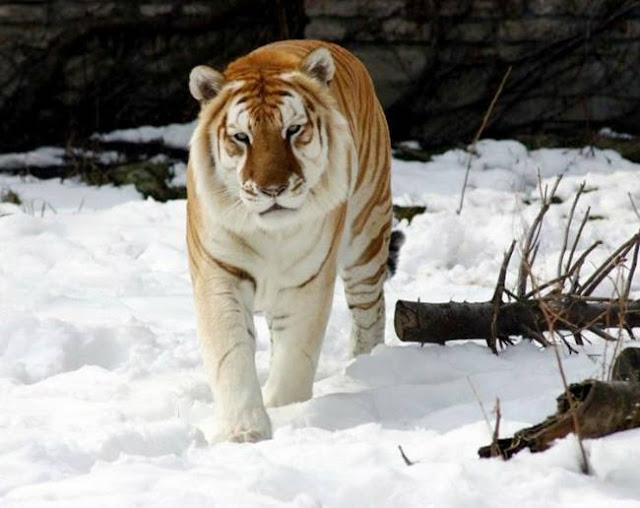 Rare Golden Tiger.