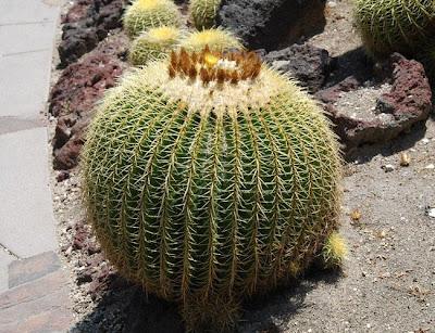 http://4.bp.blogspot.com/-MpJUYOGhfug/T3wRApnZjWI/AAAAAAAAAMQ/-bFMi7n5vOw/s1600/Golden+Barrel+Cactus+-+Echinocactus+grusonii+6.jpg