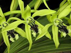 <i>Coelogyne pandurata</i>