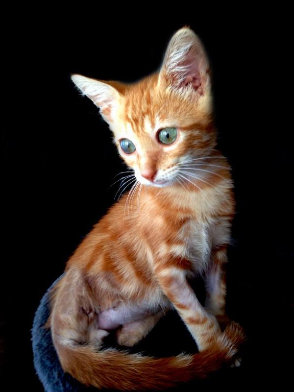 amputación miembro posterior gato