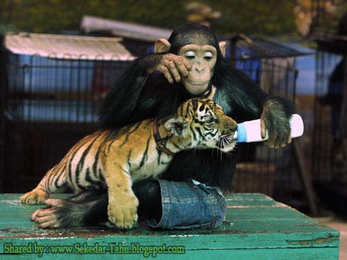 Monyet Menyusui Harimau