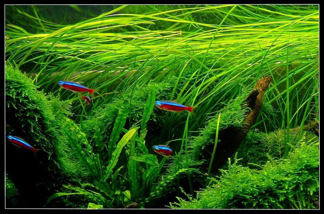 vallisnerija-akvariumnye-rastenija-dlja-nachinajushhih