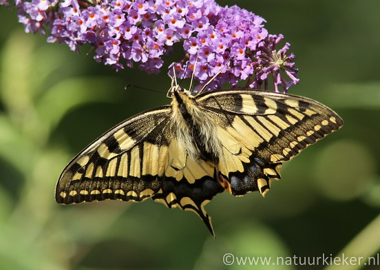 vlinder zwarte vleugels witte stippen