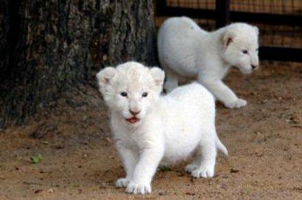 white lion wallpaper. desktop White Lion Picture