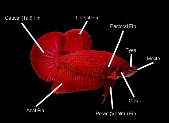 Anatomy of betta fish