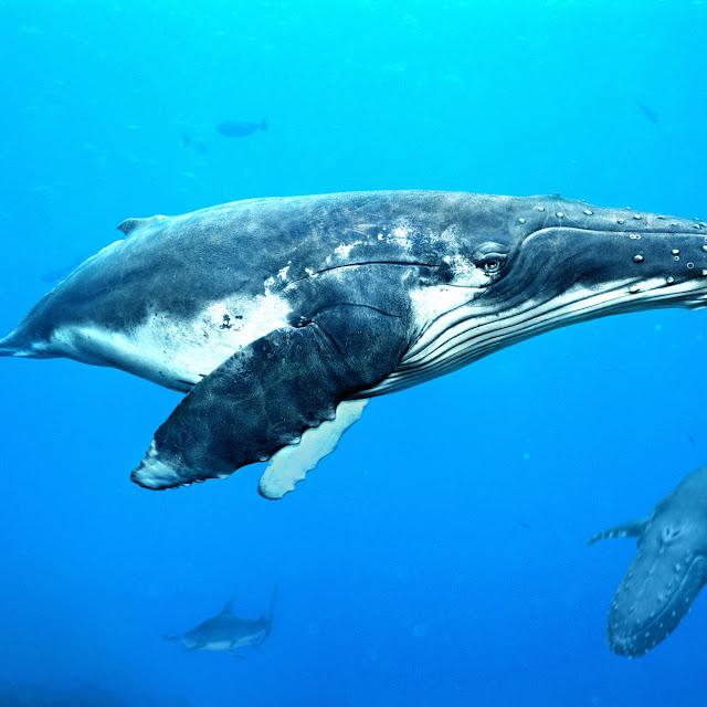 koleksi foto ikan paus