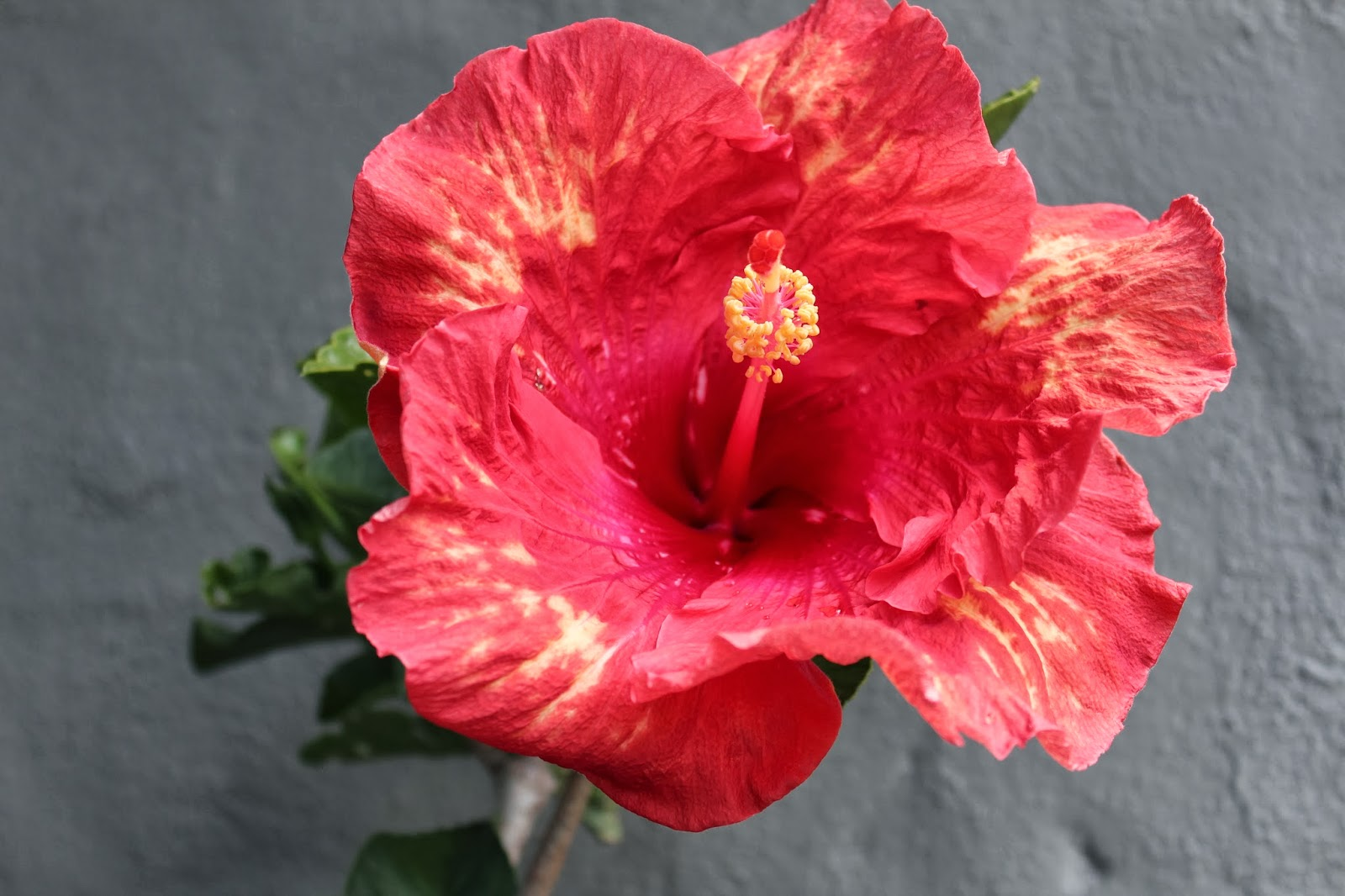 florez nursery hibiscus rosa sinensis 39 work of art 39. Black Bedroom Furniture Sets. Home Design Ideas