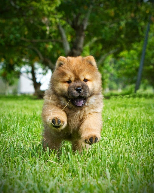 See more Chow Chow puppy running in grass http://cutepuppyanddog.blogspot.com/