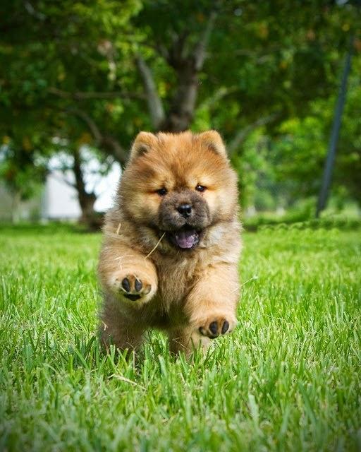 See more Chow Chow puppy running in grass http://cutepuppyanddog.blogspot.com/