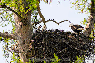 Bald Eagle chicks in nest (c) John Ashley
