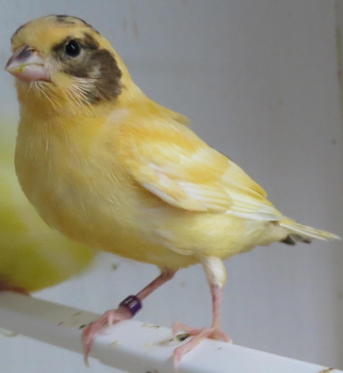 German Roller Canary Canary tales: brain teaser
