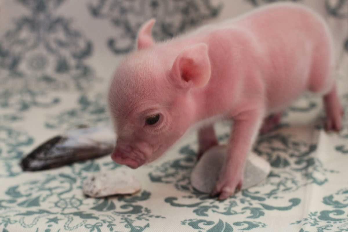 Pink Adult Teacup Pig This Teacup Pig is too cute to