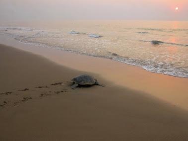 卵を産んで海に帰る亀
