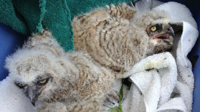 Wildlife Rescue Crews Save 3 Baby Owls In Santa Cruz County