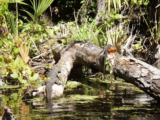 sunning gators