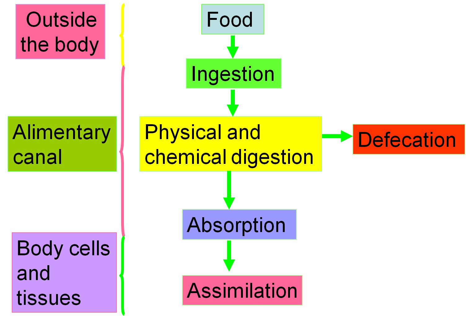 2 4 Absorption Of Digested Food
