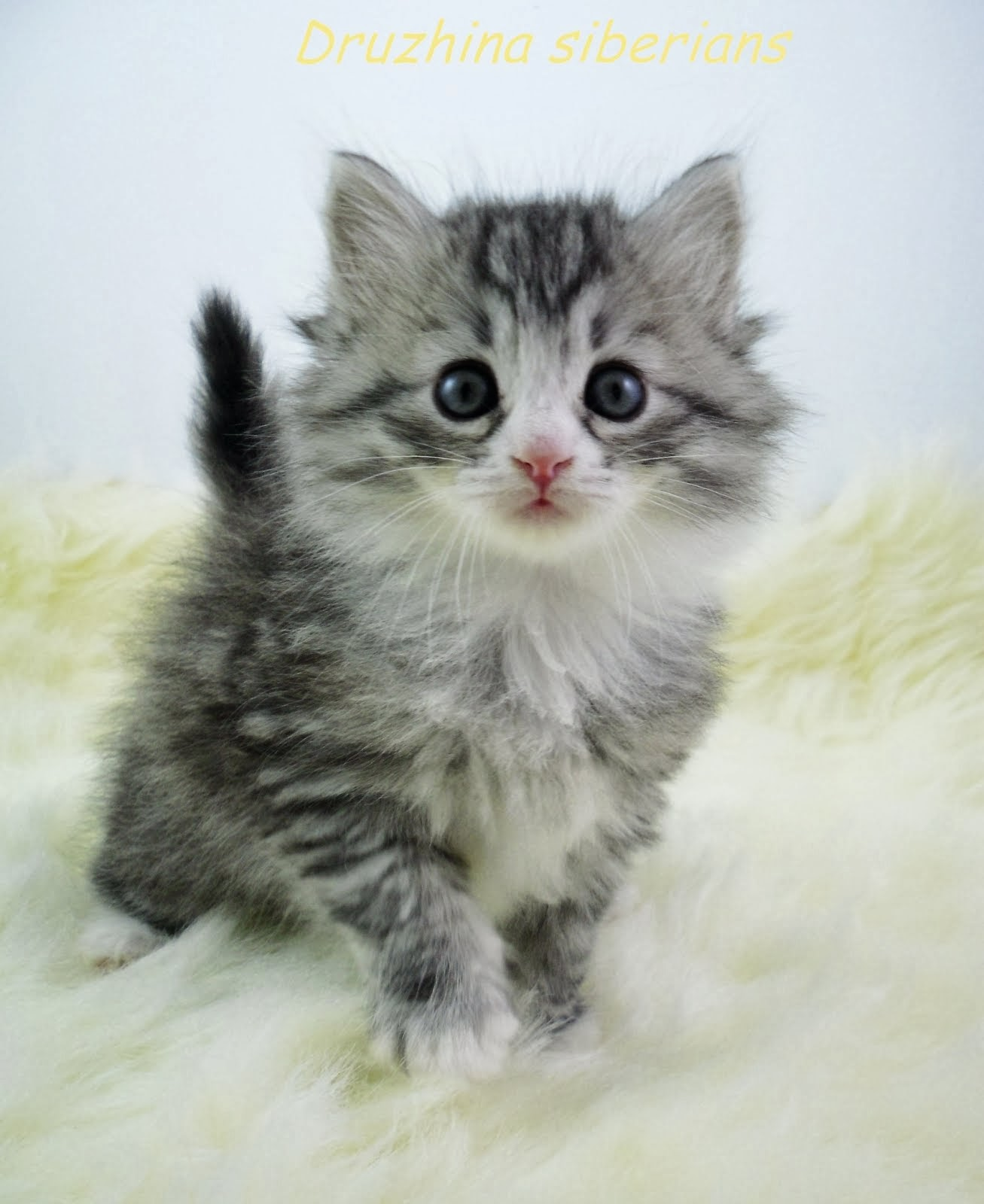 Dark silver tabby with white