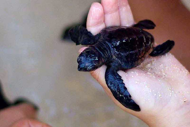 baby sea turtle in child's hand
