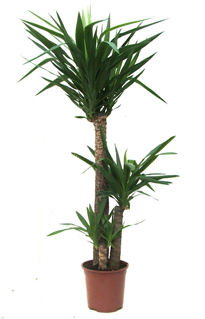 Bamboo lamp photo bamboo house plant for Yucca exterieur