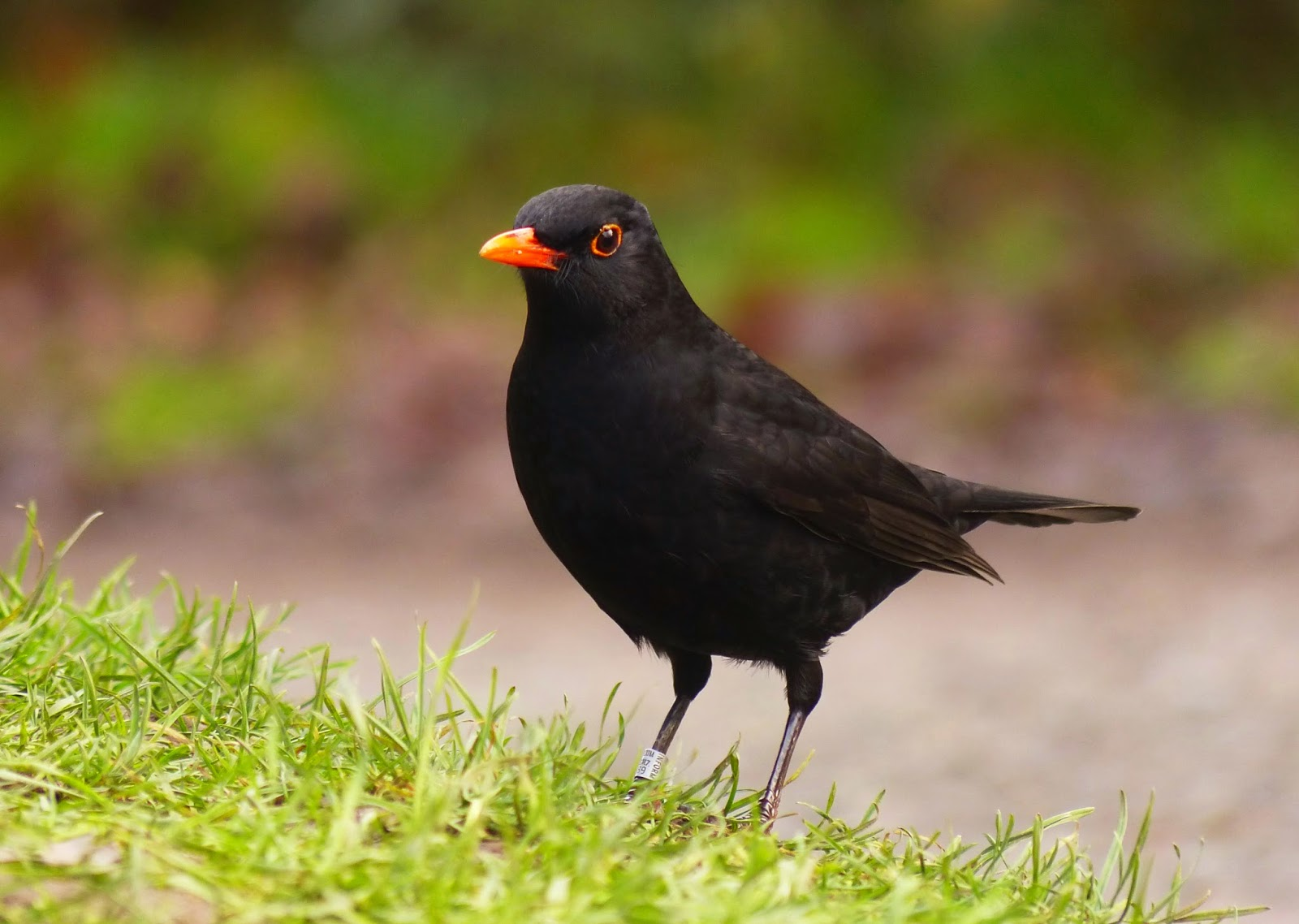 Ringed Blackbird