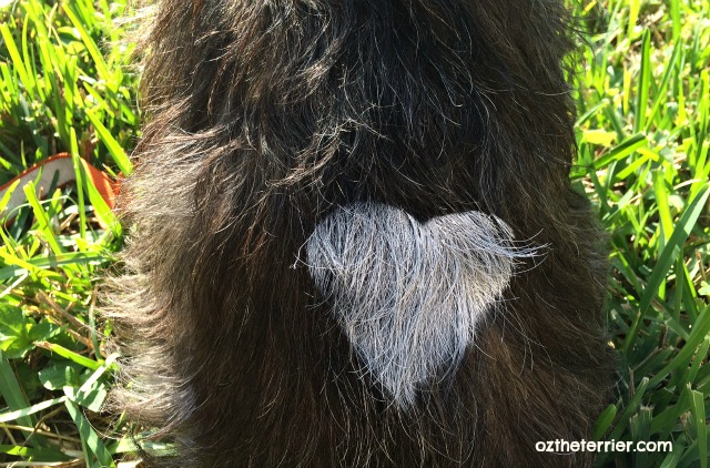 Oz the Terrier gets a heart painted on his fur with PetPaint